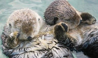 kids facts - otters hold hands when sleeping